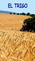 trigo duro