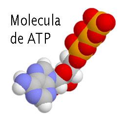 Atp for Molecula definicion